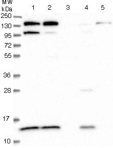 Western blot - Anti-CMC1 antibody (ab122848)