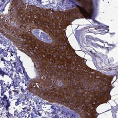 Immunohistochemistry (Formalin/PFA-fixed paraffin-embedded sections) - Anti-TMEM134 antibody (ab122860)