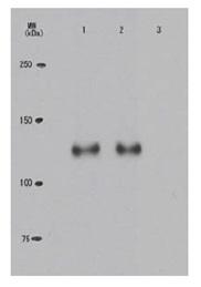 Western blot - Anti-Rb (phospho T821) antibody [24A7] (ab122893)
