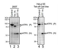 Western blot - Anti-ATF6 antibody [1-7] (ab122897)