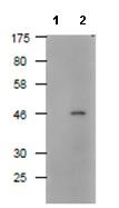 Western blot - Anti-DDDDK tag  antibody (ab122902)