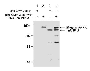 Western blot - Anti-hnRNP U antibody (ab122906)