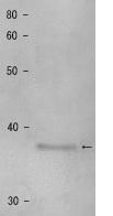 Western blot - Anti-Shugoshin antibody (ab122954)