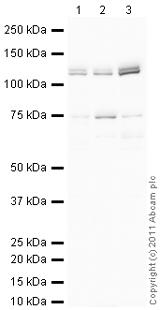 Western blot - Anti-Nicastrin antibody (ab122969)