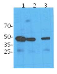 Western blot - Anti-NANS antibody [AT1G6] (ab122983)