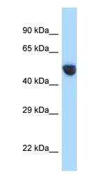 Western blot - Anti- AVPR1A   antibody (ab123032)