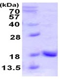 SDS-PAGE - UBL4A protein (ab123144)