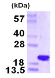 SDS-PAGE - NAT13 protein (ab123145)
