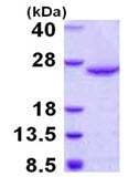 SDS-PAGE - DUSP18 protein (Tagged-His Tag) (ab123154)