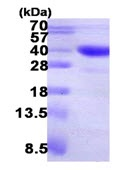SDS-PAGE - ASPA protein (Tagged-His Tag) (ab123155)