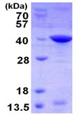 SDS-PAGE - Livin protein (ab123159)