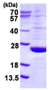 SDS-PAGE - DUSP21 protein (ab123164)