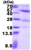 SDS-PAGE - PGK2 protein (ab123166)