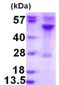 SDS-PAGE - RRAGC protein (ab123171)