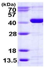 SDS-PAGE - CANT1 protein (His tag) (ab123189)