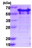 SDS-PAGE - G3BP2 protein (His tag) (ab123193)
