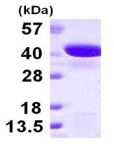 SDS-PAGE - GIPC2 protein (His tag) (ab123200)