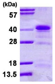 SDS-PAGE - hnRNP A1 protein (His tag) (ab123212)