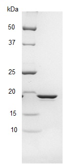 SDS-PAGE - SSB protein (ab123224)