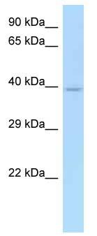 Western blot - CD33 antibody (ab123244)