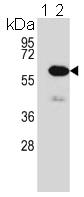 Western blot - Anti-Methionine Aminopeptidase 2  antibody (ab123266)
