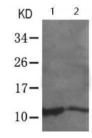 Western blot - Anti-eIF1 antibody (ab123373)