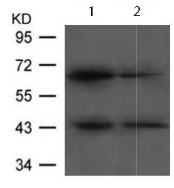 Western blot - Anti-E2F2 antibody (ab123374)