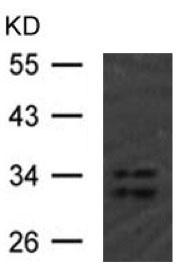 Western blot - Anti-hnRNP A1 (isoform A1-A) antibody (ab123378)