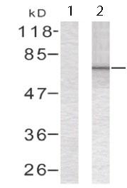 Western blot - Anti-G3BP antibody (ab123379)