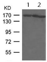 Western blot - Anti-EEA1 antibody (ab123380)