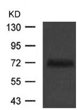 Western blot - Anti-TUG antibody (ab123382)