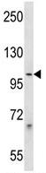 Western blot - Anti-PCDHB1 antibody (ab123423)