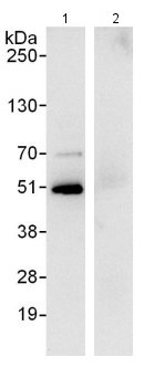 Immunoprecipitation - Anti-Flotillin 1 antibody (ab123512)