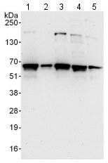Western blot - Anti-Methionine Aminopeptidase 2  antibody (ab123523)