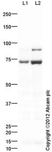 Western blot - Anti-Kv4.2 antibody (ab123543)
