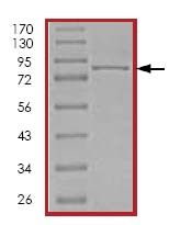 SDS-PAGE - PI3K p85 protein (His tag) (ab123752)