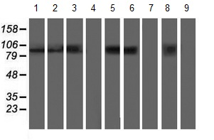 Western blot - Anti-Apc2 antibody [1A6] (ab123855)