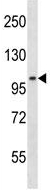 Western blot - Anti-DNA Ligase III antibody (ab123874)