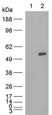 Western blot - Anti-LAT2 antibody [8B12] (ab123896)