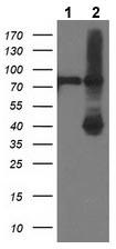 Western blot - Anti-ADH1B antibody [4F12] (ab123905)