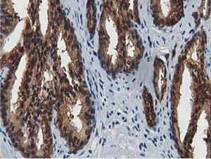 Immunohistochemistry (Formalin/PFA-fixed paraffin-embedded sections) - Anti-ACAT2 antibody [7B1] (ab123934)