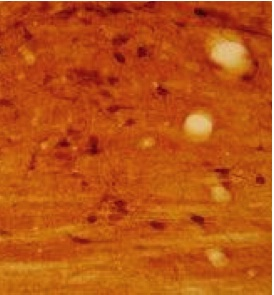 Immunohistochemistry (PFA perfusion fixed frozen sections) - Anti-5 Hydroxy Tryptophan antibody (ab123943)
