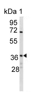 Western blot - Anti-NAPG antibody (ab124080)