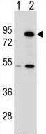 Western blot - Anti-Nuclear Matrix Protein p84 antibody (ab124180)