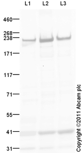 Western blot - Anti-Fast Myosin Skeletal Heavy chain antibody (ab124205)