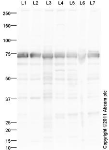 Western blot - Anti-Hsp70 antibody (ab124208)