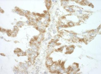 Immunohistochemistry (Formalin/PFA-fixed paraffin-embedded sections) - Anti-CEP68 antibody (ab124238)