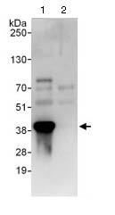 Immunoprecipitation - Anti-KCTD12 antibody (ab124260)