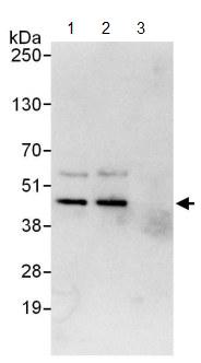 Immunoprecipitation - Anti-Cdk9 antibody (ab124261)