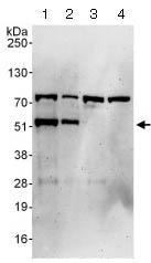 Western blot - Anti-GATA4 antibody (ab124265)